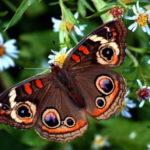 На Тернопільщині зникають метелики