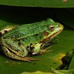 Через дощі на Тернопільщині побільшало жаб