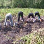 Скільки часу цього року тернополяни копатимуть картоплю