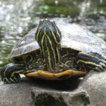 Де у Тернополі дуже добре живеться черепахам (фото)