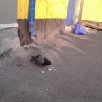 Продавці тернопільського ринку два тижні виходжують пораненого голуба