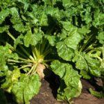 Агрохолдинг «МРІЯ» розпочав збирання цукрового буряку