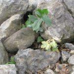 У Тернополі і на камінні ростуть дерева (фото)