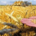 Ще трохи і рекордні урожаї сільськогосподарської продукції на Тернопільщині не буде кому їсти