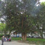 Де у Тернополі є дерево, яке росте більше трьох тисяч років (фото)