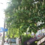 Які дерева за кордоном викликають у тернополян сильну ностальгію за рідним містом