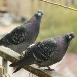 Тернополяни підгодовують диких голубів, щоб потім їх з'їсти