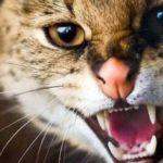 Через скаженого кота дві вулиці Тернополя небезпечні для жителів