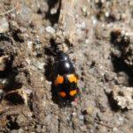 На Тернопільщині через дощове літо жуки масово лізуть у помешкання людей
