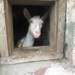 Звичайних корів у селах Тернопільщини витіснили «сталінські корови»