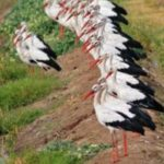 На Тернопільщині зграї лелек сидять на лініях електропередач і в полях – збираються відлітати