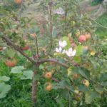 На Тернопільщині вдруге цвітуть яблуні, акація і виноград (фото)
