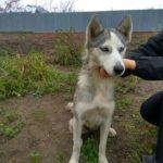 До людських осель у Великих Гаях прибігає загублена собака хаскі