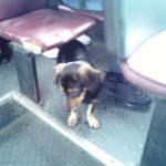 У Тернополі є унікальний пасажир – собака сама їздить маршруткою