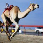 Тернополянка розповіла про верблюжі перегони і наїзників-роботів