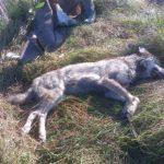 На Тернопільщині дочка відчайдушно рятувала маму від дикого звіра (відео)