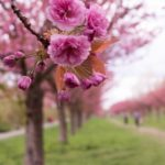 Завтра у Тернополі з'явиться ще три дуже красивих дерева