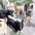 У райцентрі на Тернопільщині зграя собак тероризує людей і домашніх тварин