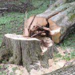 На Тернопільщині знищили півстолітнє дерево, бо комусь дуже забаглося встановити рекорд (фото)