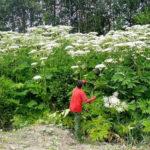 Як на Тернопільщині борються з дуже небезпечною рослиною (відео)