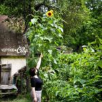 На Тернопільщині росте гігантська рослина