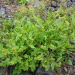 Рідкісну для Тернополя рослину знайшов Іван Мельник. Це – водяний хрін