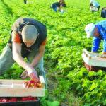 Мешканці Рівненщини, які вирощують полуницю в Польщі, можуть повернутися додому